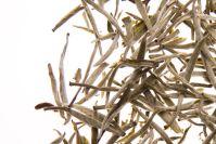 Herbata biała - Silver Needle