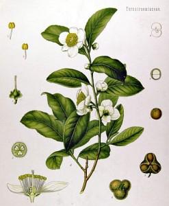 Camelia sinensis - łacińska nazwa herbaty