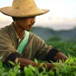 Jak rośnie krzew herbaciany?