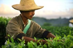 Zbieranie liści herbacianych