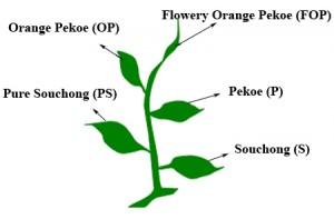 Klasyfikacja herbat czarnych