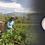 Przemysł herbaciany i handlowe gatunki herbaty