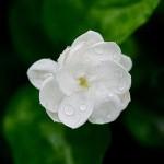 Jaśmin - kwiat
